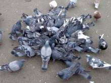 Bunch of pigeons